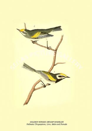 GOLDEN-WINGED SWAMP-WARBLER - Helinaia Chrysoptera, Linn, Male and Female